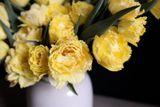 Tulipán Vaya con Dios