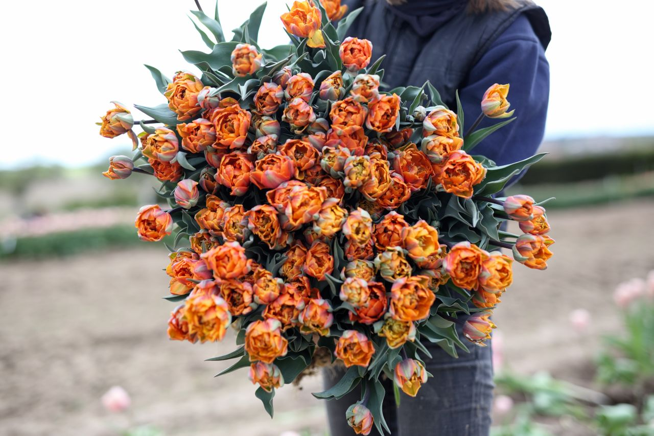 Tulipán Orange Princess, Loukykvět