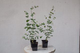 Malý eukalyptus v květináči , Loukykvět