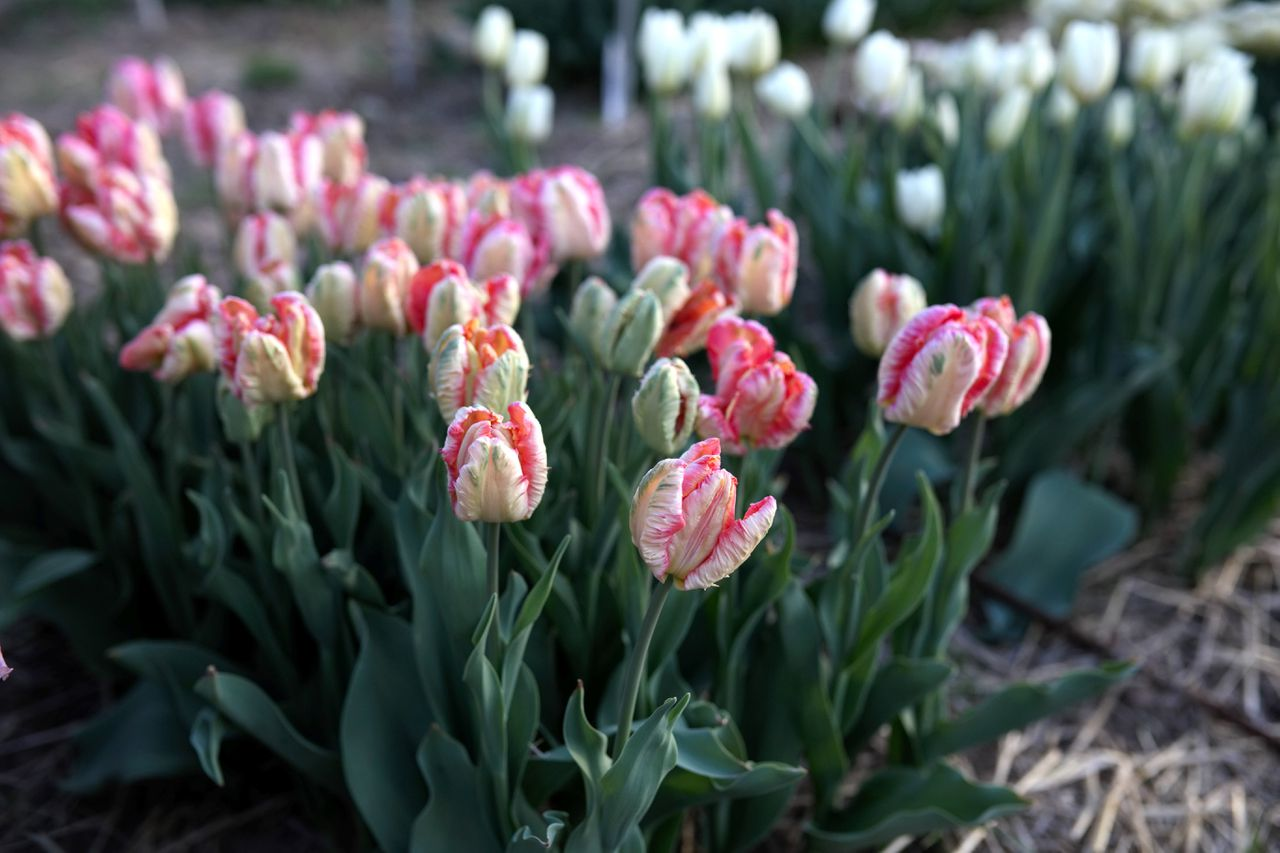 Tulipán Apricot Parrot, Loukykvět