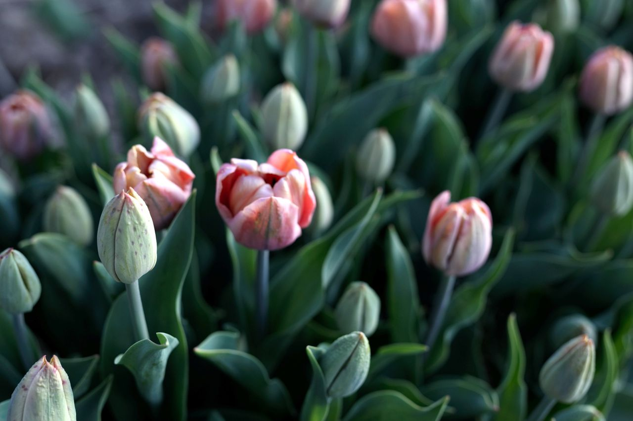 Tulipán La Belle Epoque, Loukykvět