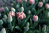 Tulipán La Belle Epoque
