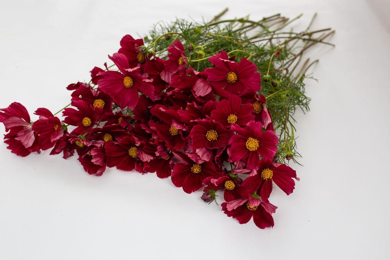 Krásenka Rubenza, Loukykvět
