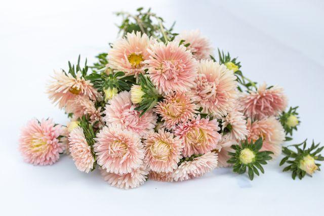 Astra King Size Apricot, Loukykvět