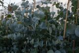 Eukalyptus Silver Dollar