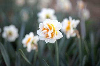 Narcis Double Dee, Loukykvět
